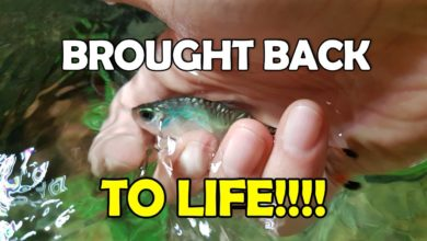 How to Save a Fish from Shock