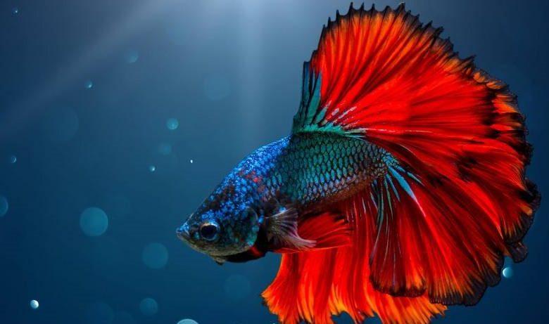 Are Betta Fish Good Pets