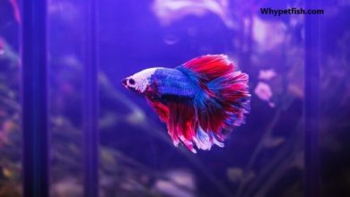 Photo of Best Betta Fish for 20 Gallon Tank