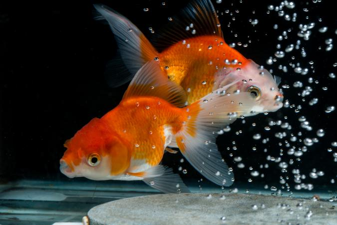 How to Stop My Fish From Chasing Each Other