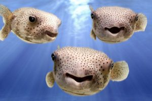 Best Puffer Fish for Reef Tank