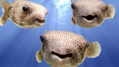 Photo of Best Puffer Fish for Reef Tank