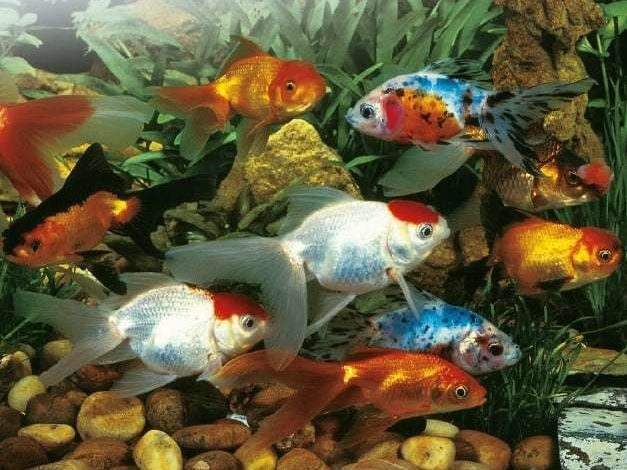 Best Type of Goldfish for Small Tank in 2020