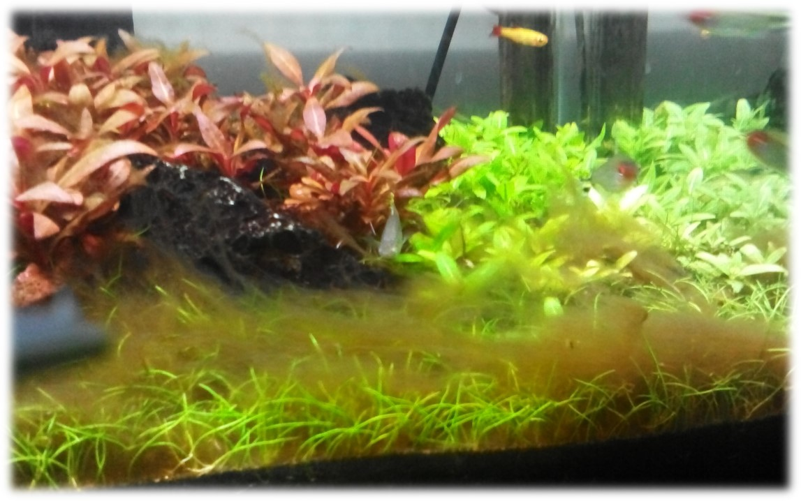 How Do I Stop Brown Algae Growing In My Aquarium World S Best Website For Fish Whypetfish Com