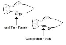 Photo of How to Identify the Sex of a Fish?