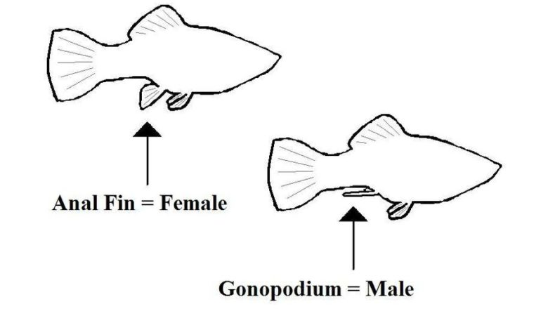 How to Identify the Sex of a Fish