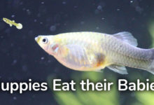 Photo of How to Stop Guppies from Eating Their Babies?