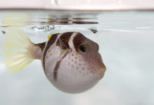 Photo of How Many Times Can A Pufferfish Puff Before It Dies?