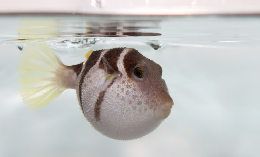 How Many Times Can A Pufferfish Puff Before It Dies
