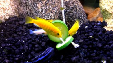 Can Cichlids Eat Zucchini?