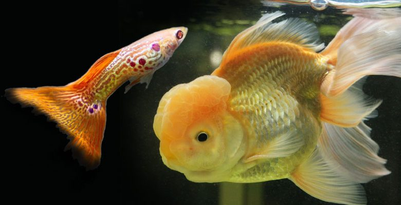 Can Fancy Goldfish Live with Guppies?