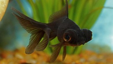 Can a Black Goldfish Turn Orange