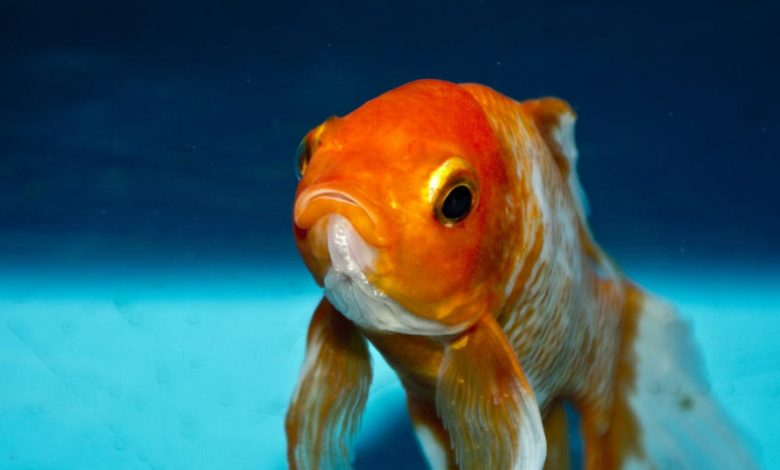 Can a Goldfish Bite You?