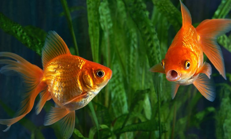 Can a Goldfish Die From Overeating?