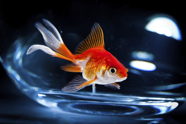 Can a Goldfish Eat Ants?