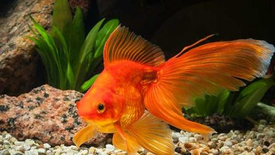 Can a Goldfish Have a Heart Attack?
