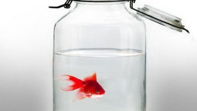 Can a Goldfish Live in Mason Jar?