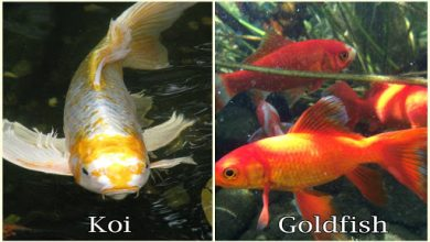 Can a Goldfish and a Koi Mate?