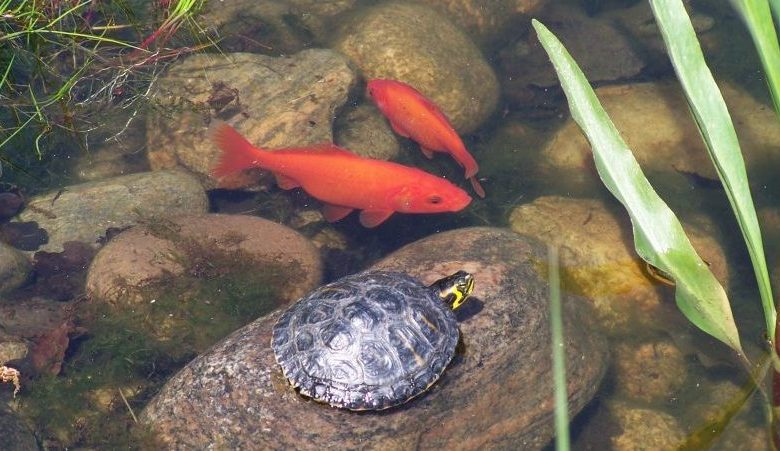 Can a Goldfish and a Turtle Live Together?