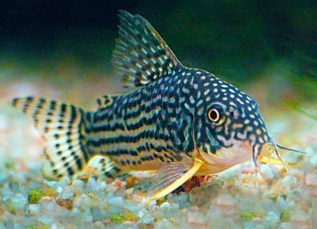 How many Cory Catfish should be kept together?