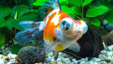How to Save a Fish From Ammonia Poisoning?