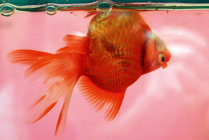 Why is my pet fish swimming upside down?