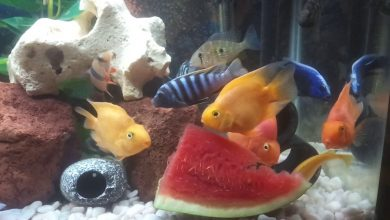 Can African Cichlids Eat Watermelon?