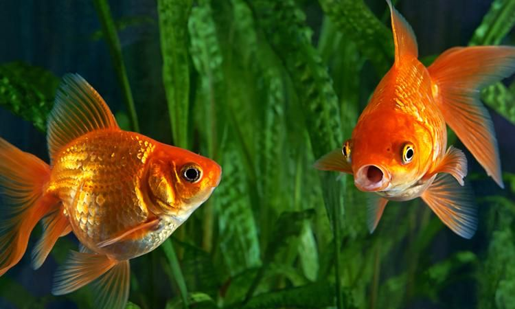 Can a Goldfish Live in Saltwater?