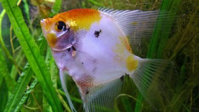 Can Angel Fish Live with Tiger Barbs?