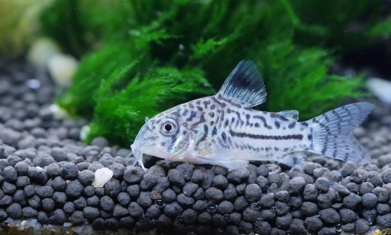 How Much Does a Cory Catfish Cost?