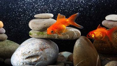 How to Oxygenate a Fish Tank Without a Pump?