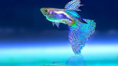 What Causes Tuberculosis in Fish?