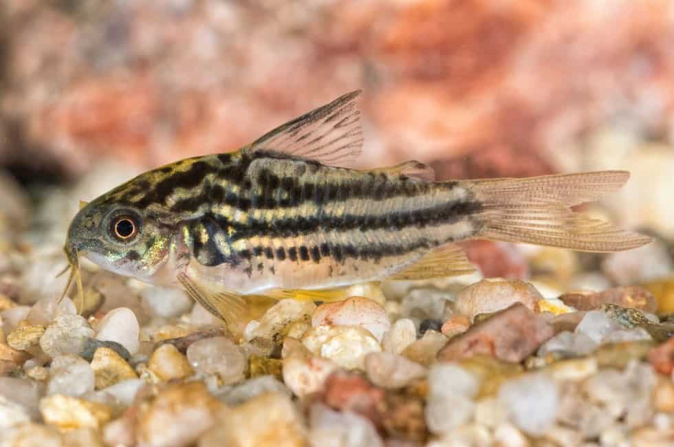 What Type of Cory Catfish Should I Get?