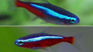 Which is Better Neon or Cardinal Tetra?