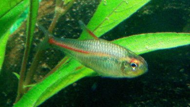 Why is my Neon Tetra Turning White