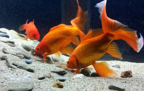 Can Goldfish Eat Cabbage?