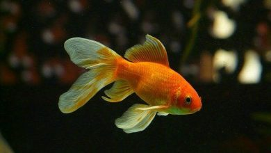 Can a Goldfish Have a Tumor?