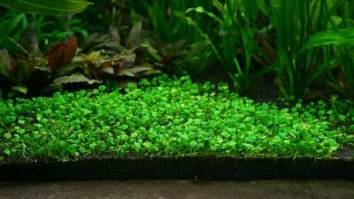 How to Plant Carpet Seeds in an Established Aquarium?
