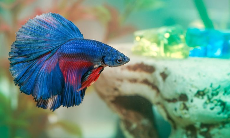 Why is My Betta Fish Going Crazy?