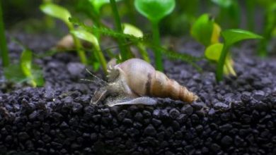 Are Snails Good for Your Fish Tank?