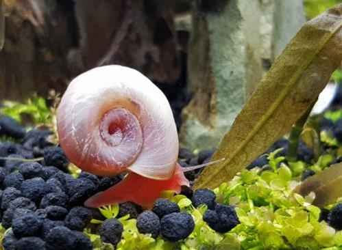 Can Aquarium Snails Live Out of Water?