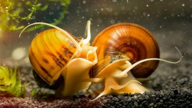 Can Aquarium Snails Live in Ponds?