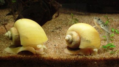 Do Aquarium Snails Have Teeth?