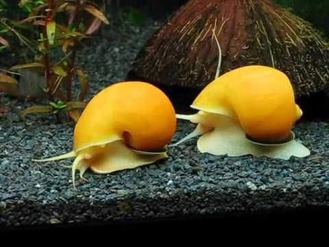 How Much Do Aquarium Snails Cost?