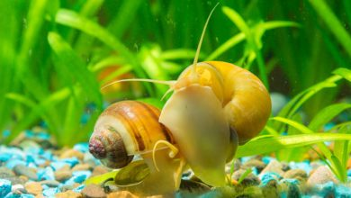 Why Do Aquarium Snails Bury Themselves?