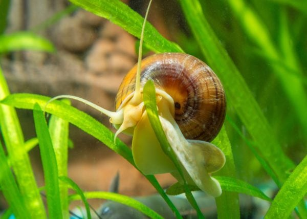 Why is My Mystery Snail Growing So Fast?
