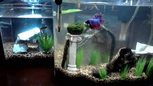 What Fish Can Live in a 1.5 Gallon Tank?
