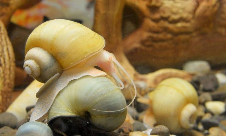 Are Mystery Snails Nocturnal?