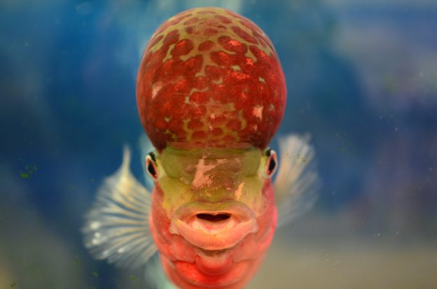 How Big Do Flowerhorn Fish Get?