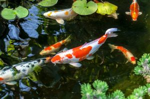 How to Keep Koi Fish Alive in Winter?